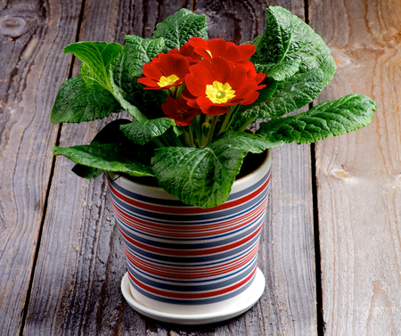 Red Primula Potted Plant in Striped Flower Pot closeup on Rustic Wooden background Stock Photo