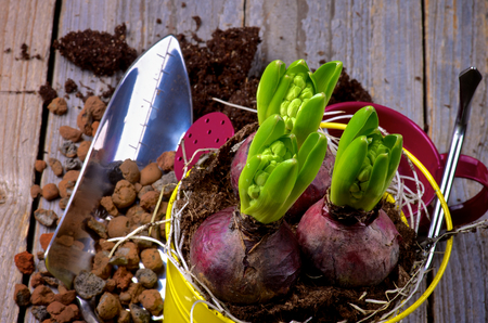 Planting Hyacinth Bulbs, Watering Can, Grounds and Gardening Tools closeup on Rustic Wooden background  Top View photo