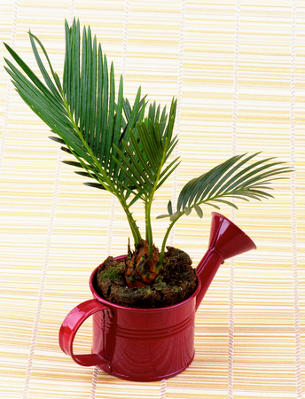 Little Houseplant Chrysalidocarpus Areca in Purple Watering Can isolated on Straw mat background photo