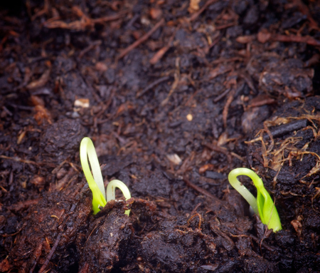 Two Little Growth Green Grass in Cultivated Ground closeup Stock Photo