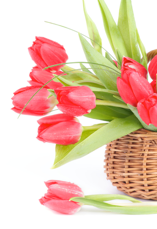 Bouquet of Spring Magenta Tulips with Green Grass and Droplets in Wicker Basket isolated on white background photo