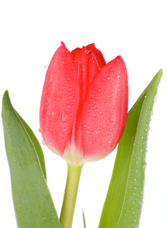 Beautiful Red Tulip with Leafs and Water Drops isolated on white background photo