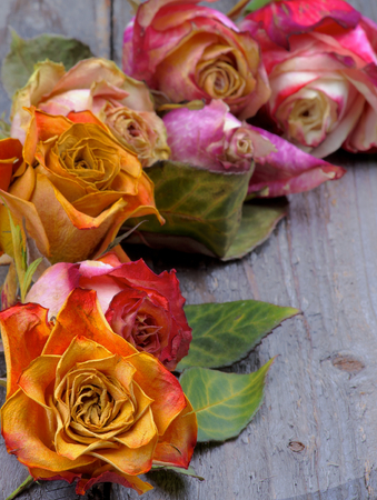 Corner Border of Beauty Colorful Withered Roses with Leafs closeup on Rustic Wooden background photo