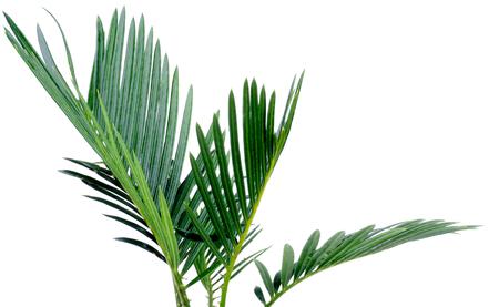 Green Palm Leafs of Chrysalidocarpus Areca isolated on white background photo