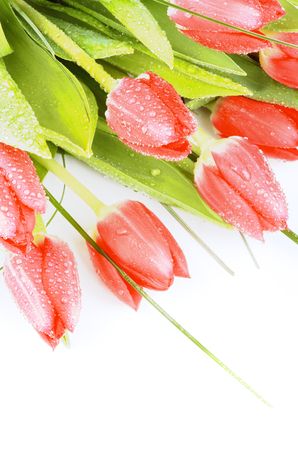 Heap of Spring Red Tulips with Green Grass and Water Drops closeup on White background photo