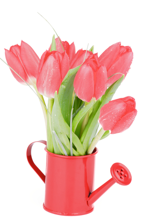 Bunch of Spring Magenta Tulips in Watering Can isolated on White background photo
