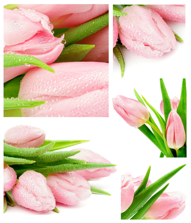 Collection of Spring Pink Tulips with Water Drops closeup on white background photo