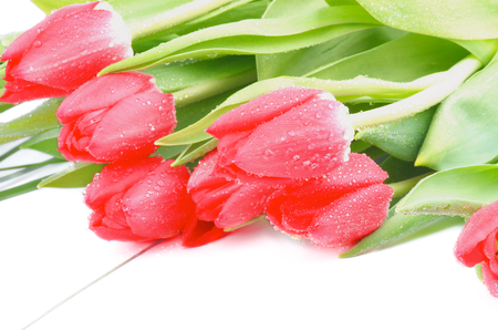 Heap of Spring Magenta Tulips with Green Grass and Water Drops isolated on White background photo