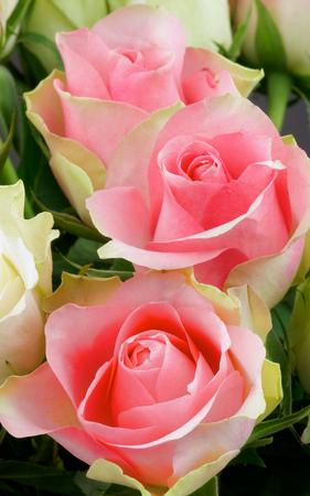 beaty: Bunch of Beaty Pink Roses closeup