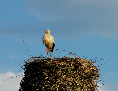 White Stork Stand at One Leg and Sleep in His Nest on Blue Sky background Outdoors photo