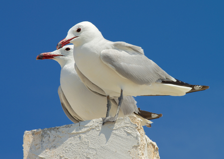 Pair of Beauty Seagulls on Edge of Berth isolated on Blue Sky background Outdoors photo