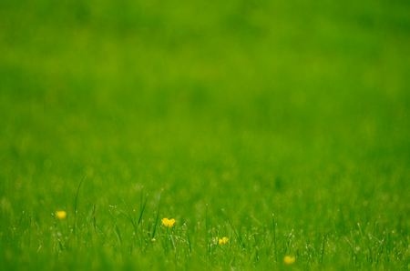 Background of Fresh Green Grass Outdoors  Focus on Yellow Flowers photo