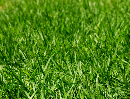 Background of Fresh Growth Green Grass in Sunny Day closeup Outdoors photo
