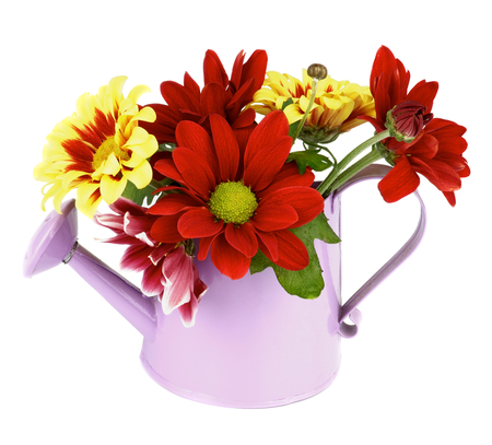 Bunch of Red and Yellow Daisy Chrysanthemum (Chrysantheme) with Leafs and Buds in Lilac Watering Can isolated on white background photo