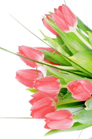 Bunch of Eleven Spring Magenta Tulips with Green Grass and Water Drops closeup on White background photo