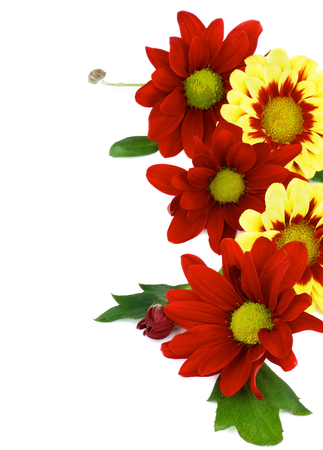 Frame of Red and Yellow Daisy Chrysanthemum (Chrysantheme) with Leafs and Buds isolated on white background photo