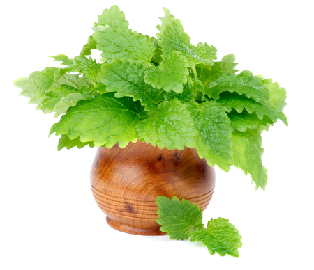 Bunch of Perfect Fresh Green Lemon Balm Leafs in Wooden Pot isolated on white background photo