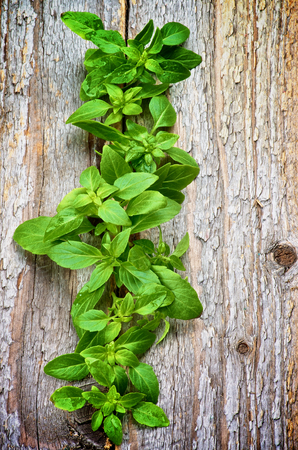 Fresh Raw Green Basil Leaves In a Row isolated on Rustic Wooden background photo