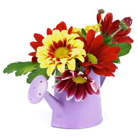 Bunch of Yellow and Red Daisy Chrysanthemum (Chrysantheme) with Leafs and Buds in Purple Watering Can isolated on white background photo