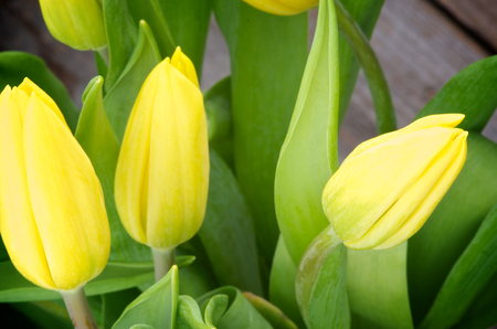 Three Yellow Spring Tulips with Leafs closeup on Rustic Wooden background photo