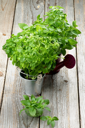 flavorful: Arrangement of Fresh Raw Green Basil Leaves with Water Drops in Purple Watering Can, Tin Bucket and Bowl closeup on Rustic Wooden background