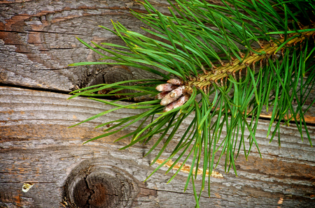 Fluffy Green Pine Branch with Long Needles and Little Fir Cones closeup on Rustic Wooden background photo