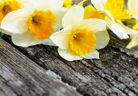 Beauty Spring Yellow and White Daffodils closeup on Grey Weathered Wooden background photo