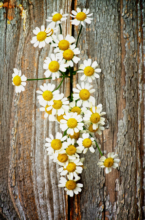 Garden Small Camomiles In a Row closeup on Rustic Wooden background photo