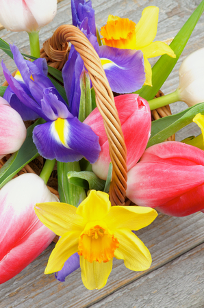 purple irises: Bunch of Magenta Tulips and Purple Irises with Yellow Daffodil in Wicker Basket closeup on Rustic Wooden background