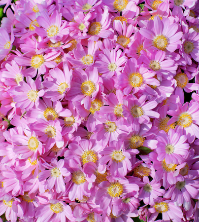 closeup of pink daisy with: Background of Beauty Pink Daisy Chrysanthemum closeup Outdoors