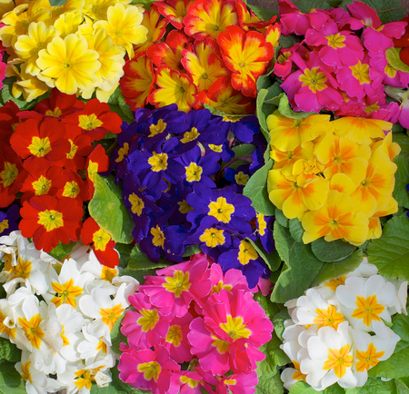 Background of Beauty Multi-Colored Primroses with Leafs closeup photo