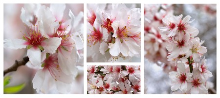 Collection of Beauty White and Pink Cheery Tree Blossom closeup photo