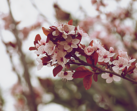retro styled: Branch of Beauty Pink and White Cherry Blossoms on Blurred Cherry Tree closeup. Retro Styled Stock Photo