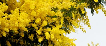 lush foliage: Beauty Yellow Lush Foliage Flowering Mimosa with Leafs closeup on Cloudy Sky background