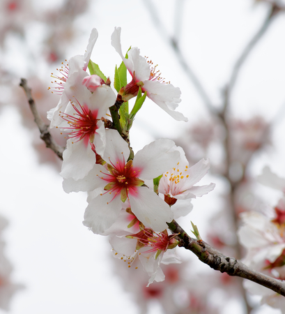 cheery: Beauty Pink and White Cheery Blossoms closeup on Blurred Cherry Tree and Cloudy Sky background