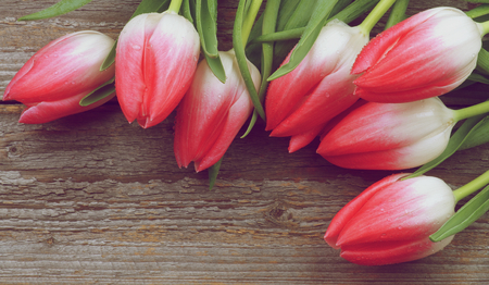 retro styled: Corner Border of Spring Magenta Tulips with Water Drops closeup on Rustic Wooden . Retro Styled Stock Photo