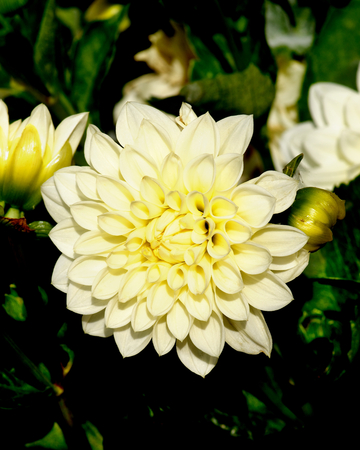 big leafs: Big Yellow Flower of Dahlia with Buds closeup on Green Leafs background Outdoors