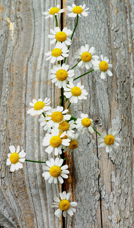Small Garden Camomiles In a Row closeup on Rustic Wooden background photo