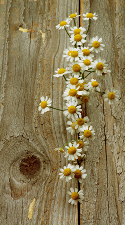 retro styled: Small Garden Camomiles In a Row closeup on Rustic Wooden background. Retro Styled Stock Photo