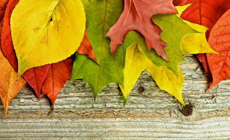 autumn leafs: Horizontal Frame of Variegated Autumn Leafs isolated on Rustic Wooden background