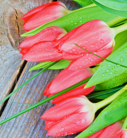 tulips in green grass: Five Spring Red Tulips with Green Grass and Water Drops isolated on Rustic Wooden background