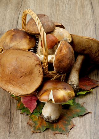 peppery: Heap of Fresh Ripe Porcini Mushrooms, Orange-Cap Boletus and Peppery Bolete on Green and Red Maple Leafs closeup on Wooden background Stock Photo