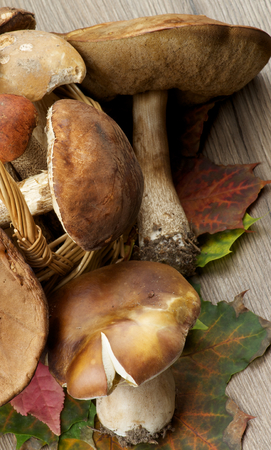 peppery: Wicker Basket Full of Raw Porcini Mushrooms, Orange-Cap Boletus and Peppery Bolete on Maple Leafs closeup on Wooden background. Top View