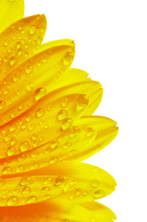 yellow gerbera isolated on: Frame of Yellow Gerbera Petals with Water Droplets Isolated on White background