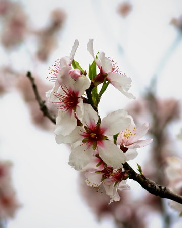cheery: Beauty White and Red Cheery Blossoms closeup on Blurred Cherry Tree background