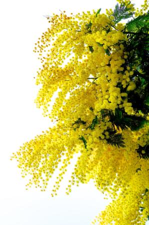 lush foliage: Beauty Yellow Lush Foliage Flowering Mimosa with Leafs isolated on White background