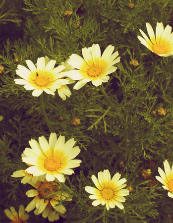 retro styled: Beauty Wild Yellow Daisies with Leafs and Buds closeup Outdoors. Retro Styled