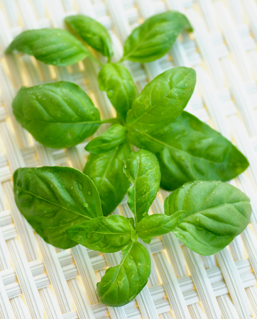 bushy plant: Fresh Basil Leafs with Water Drops In a Row closeup on Wicker background. Focus on Foreground