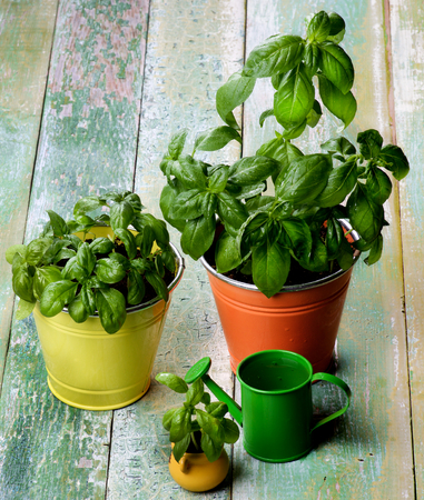 lush foliage: Fresh Green Lush Foliage Basil in Various Flower Pots with Green Catering Can closeup on Cracked Wooden background Stock Photo