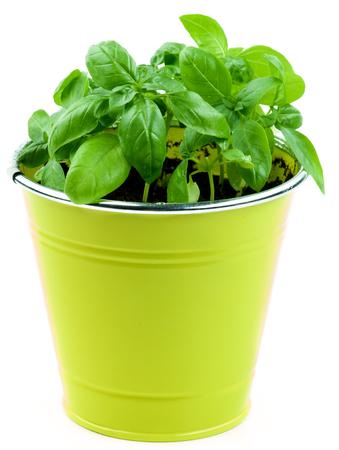 lush foliage: Fresh Green Lush Foliage Basil in Yellow Flower Pot isolated on White background Stock Photo